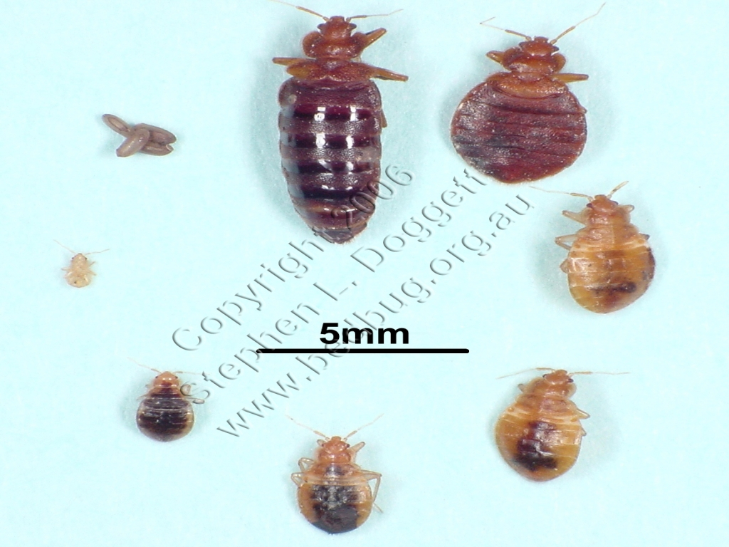 What Do Baby Bed Bugs Look Like What To Do Bed Bugs Look
