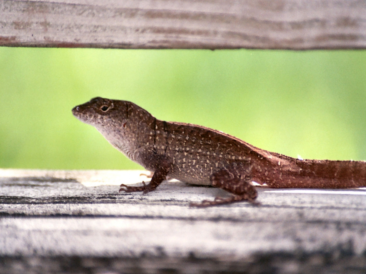 Gecko types list pictures 7